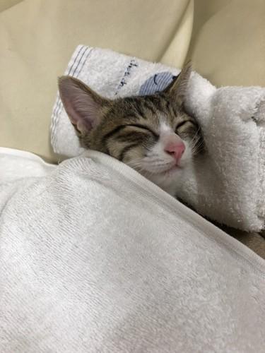 まくらと掛け布団の猫