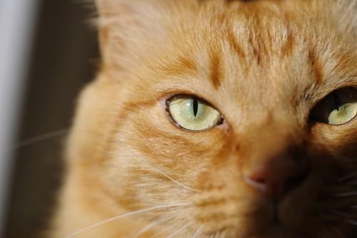 こちらをじっと見つめる猫の目もと