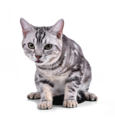 小さく口を開けて舌をのぞかせる猫