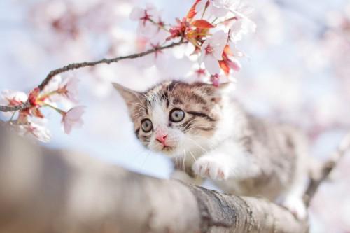 桜の木の枝に登る子猫