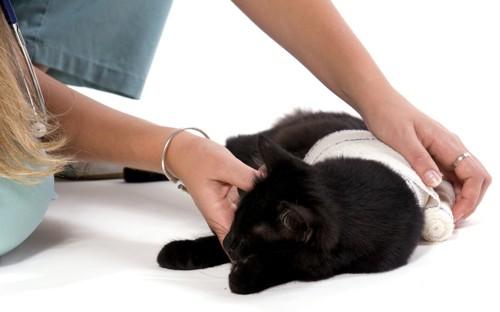 体に包帯を巻かれている黒猫