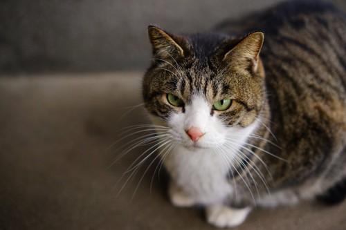 警戒して見つめる猫