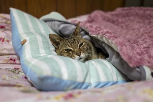 枕をして布団で寝る猫