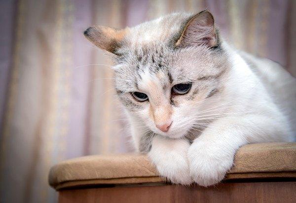 下をみる白猫