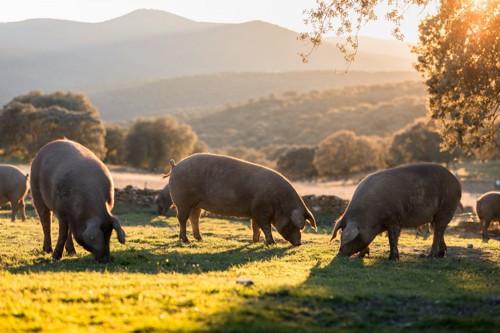 牧草を食べる豚