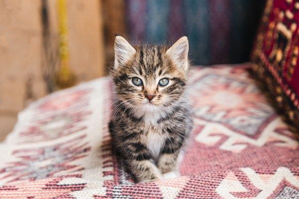 じっとするキジ子猫