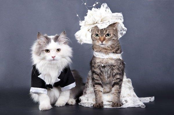 ウエディングの衣装を着た猫たち