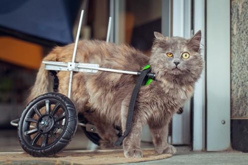 猫用車椅子をつけた猫