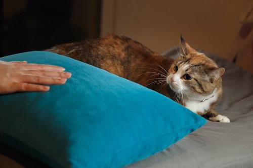 枕に置かれた人の手を見て不満げな猫