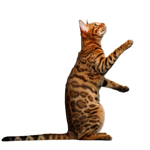 後ろ足で立っている茶色い猫