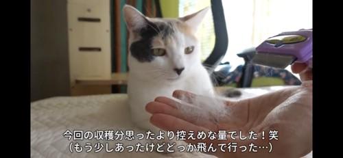 自分の抜け毛を見つめる猫
