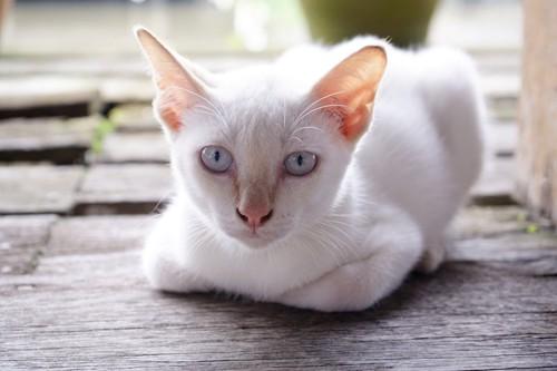 こちらを見つめる白い猫