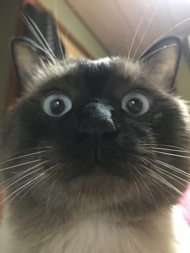 目力がすごい猫