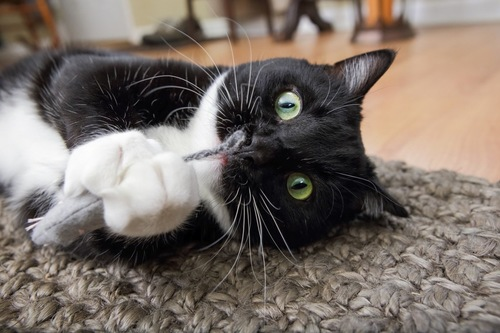 ネズミのおもちゃで遊ぶ猫