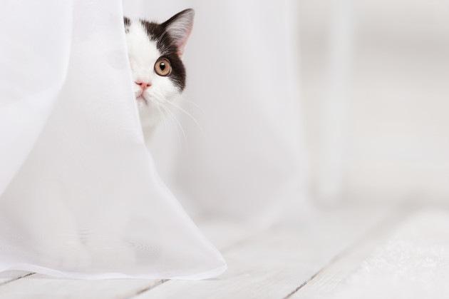 カーテン越しに見ている猫