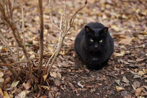 草むらにいる黒猫