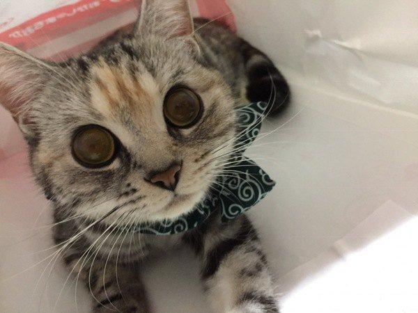 クリクリな目のスコティッシュフォールド子猫