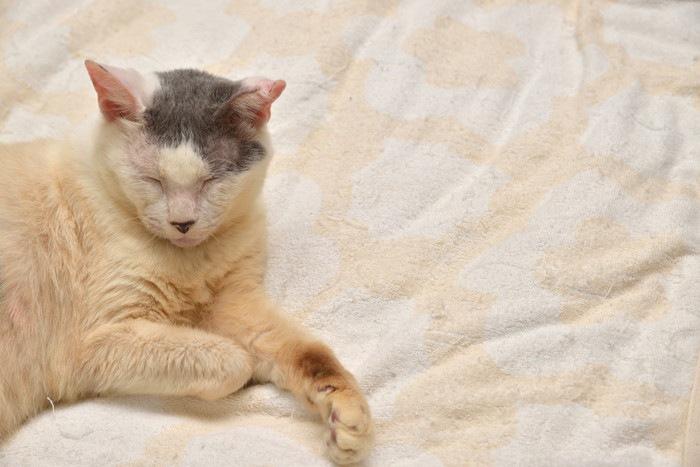 ベッドでくつろぐ老猫