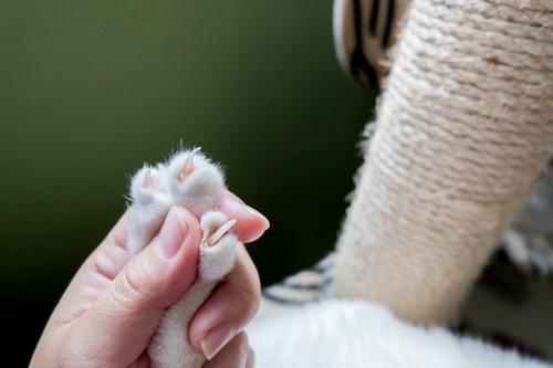 肉球を押されて爪を出す猫