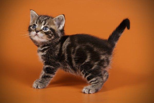 ブラウンタビー子猫
