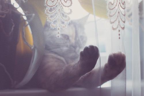 レースのカーテンに手を伸ばす猫