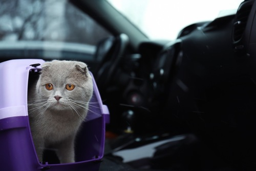 車で移動する猫
