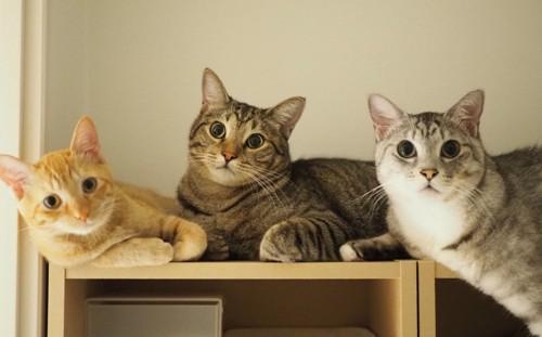 カメラ目線の3匹の猫