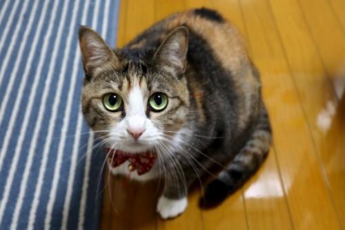 上目遣いする猫