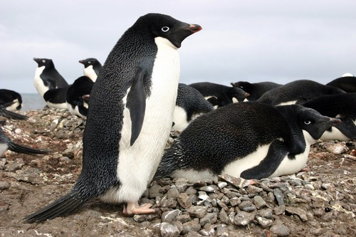 立っているアデリーペンギンと腹ばいのアデリーペンギンたち