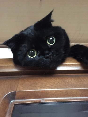 まん丸な目の黒いスコティッシュフォールド