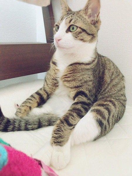 スコ座りをする猫