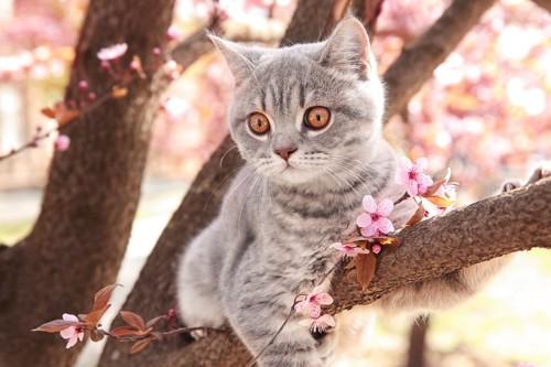 桜の木の上の猫