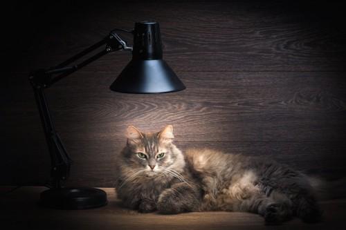 暗闇の中で付けっ放しの照明の下にいる猫