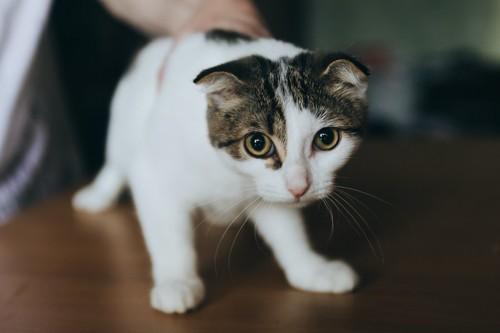 姿勢を低くして怯えている様子の白キジ猫