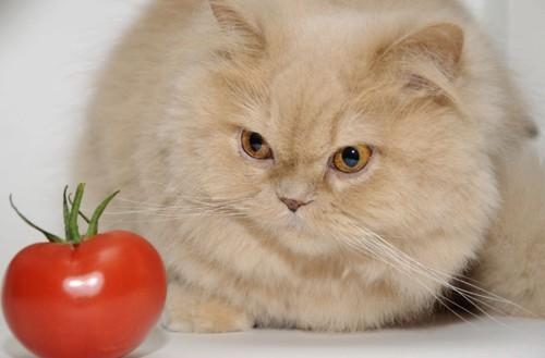 トマトと猫