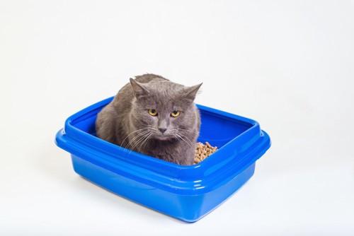 猫用トイレの中でうずくまる猫