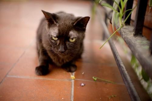 甲状腺疾患の猫