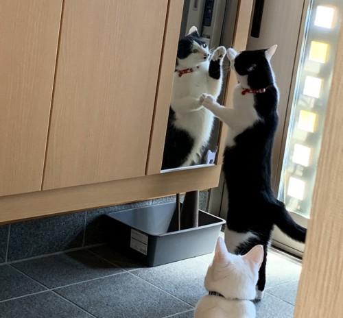 玄関で鏡を見ている猫