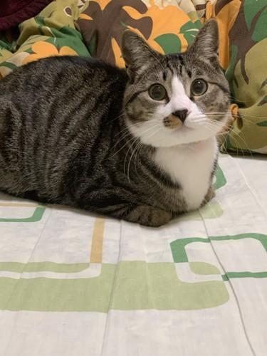 まんまるもふもふのハチワレ猫
