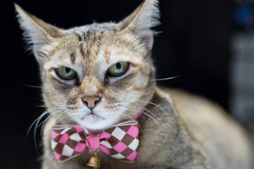 ピンクの蝶ネクタイをした猫