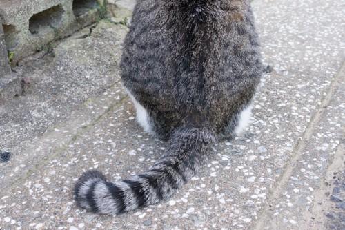 先の曲がったしっぽの猫の後ろ姿