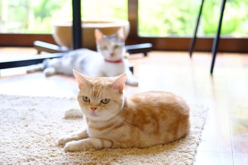 湯布院笑ねこカフェの猫達