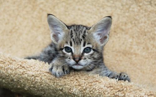 サバンナの子猫