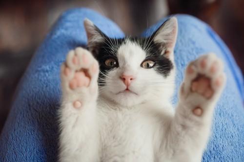 飼い主の膝の上で仰向けになる猫