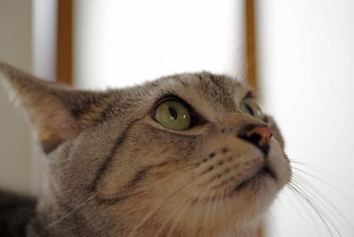 イカ耳で上を向いている猫の顏のアップ