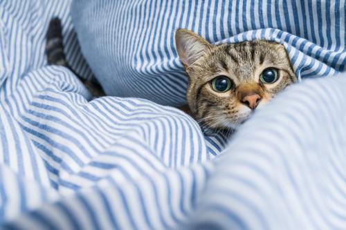 布団の間から顔を覗かせる猫