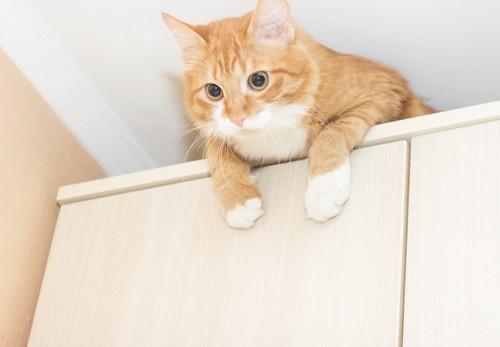 棚の上に登って下を見る猫
