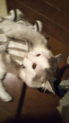 猫がカミカミしている写真