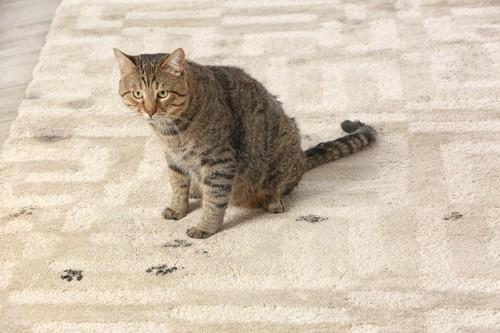 カーペットを汚してしまった猫