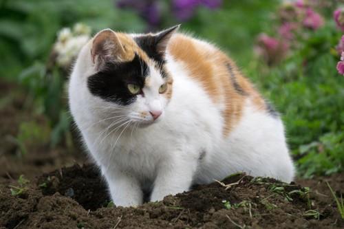 土を掘り返す猫